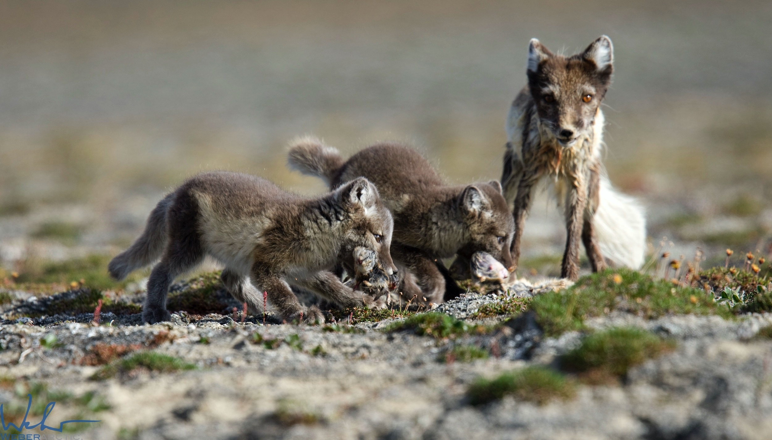 Arctic fox mother and kits eating lemmings