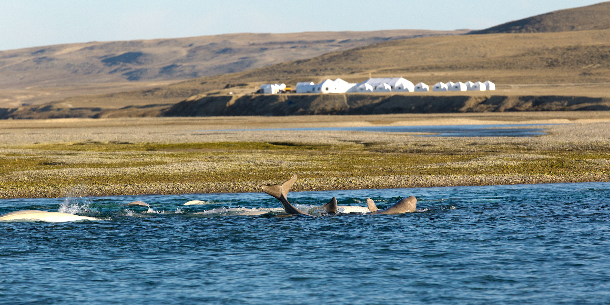 A beluga whale in Cunningham River with Arctic Watch in the background