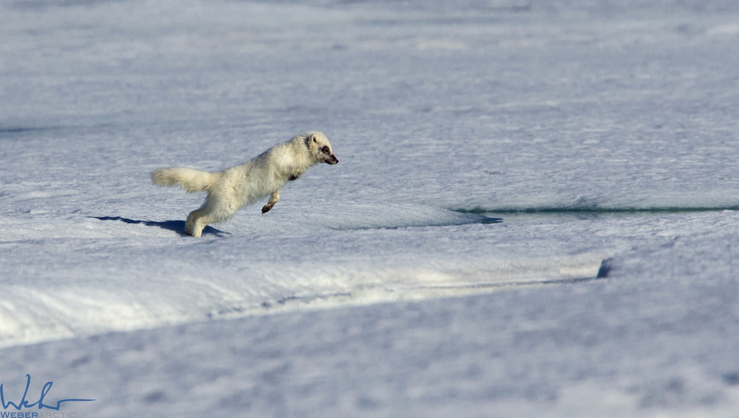 Arctic fox jumping ice on the Northwest Passage near Arctic Watch