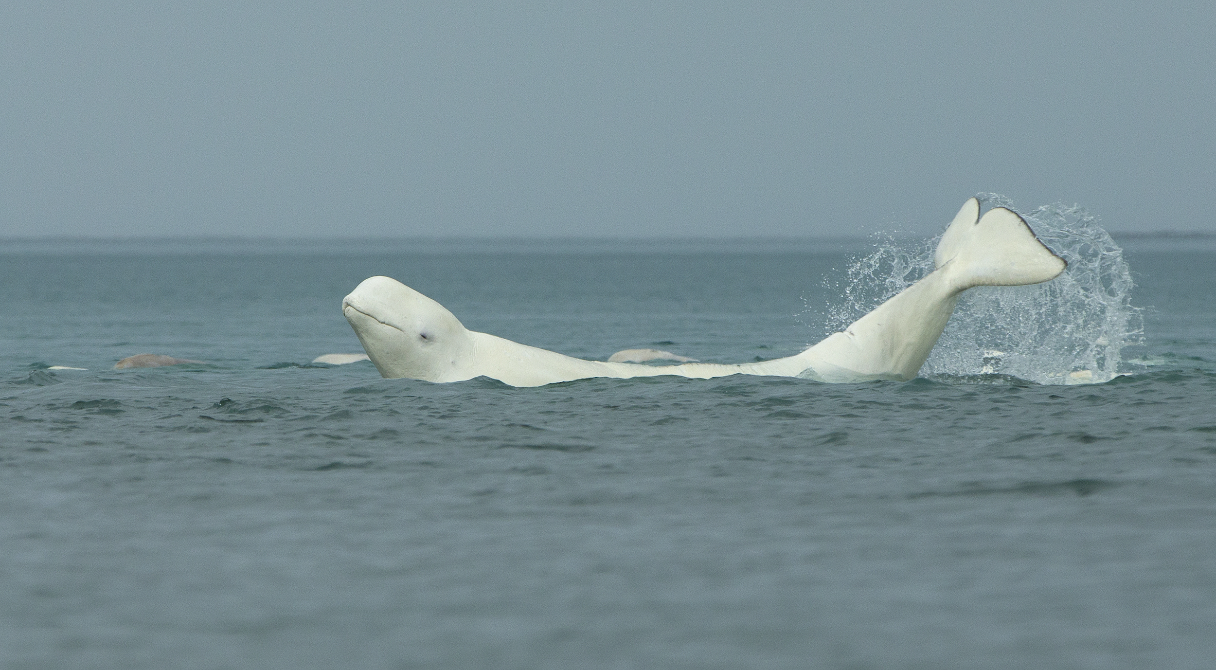 A beluga playing in the Cunningham River near Arctic Watch