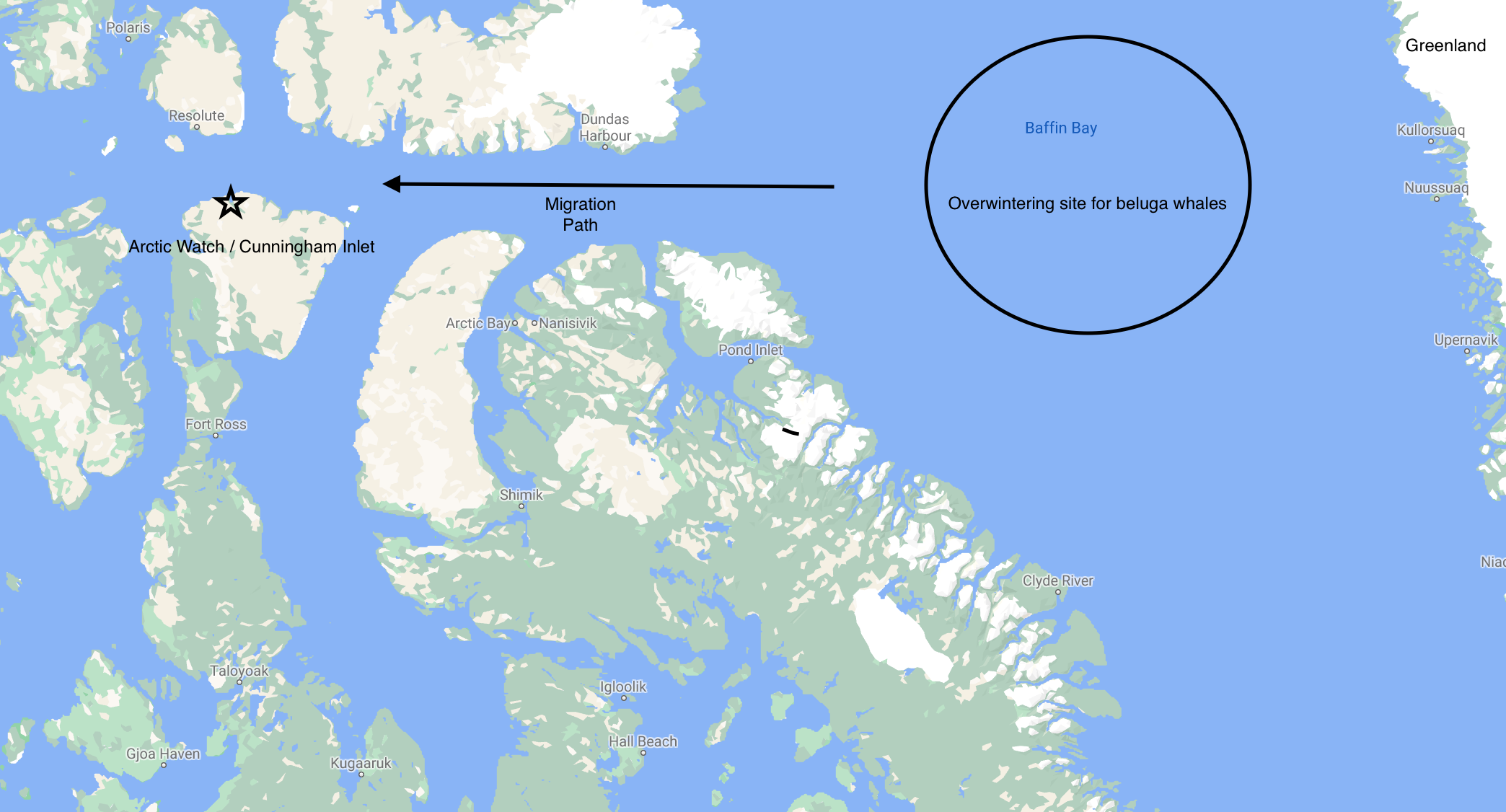 The migration path of the Cunningham Inlet beluga whales