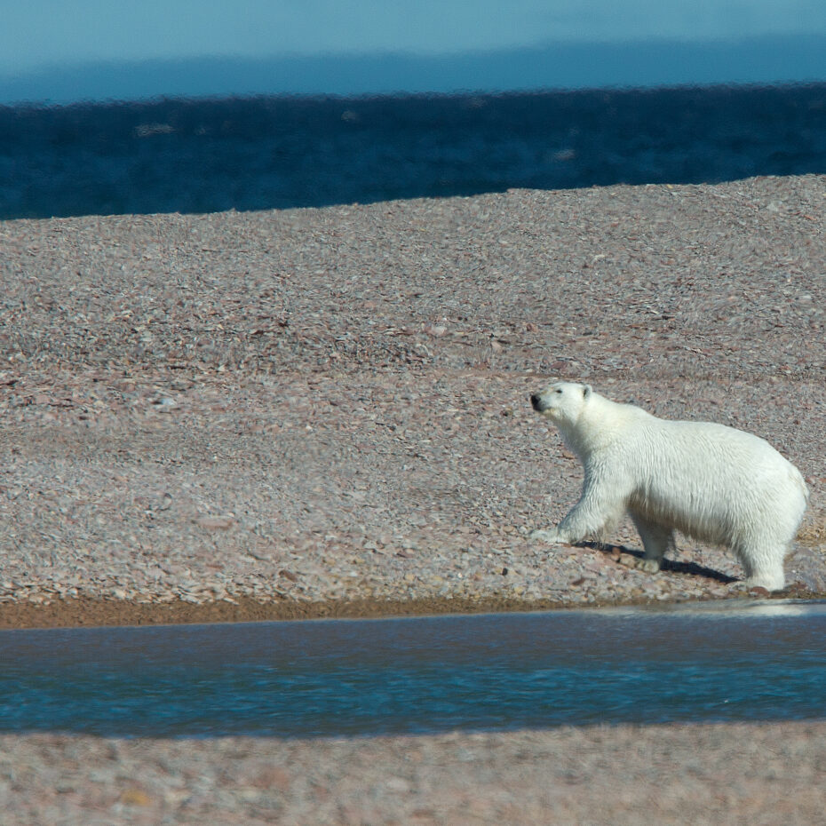 ARCTIC ADAPTATIONS: HOW ARCTIC ANIMALS THRIVE IN SOME OF THE HARSHEST ENVIRONMENTS ON EARTH