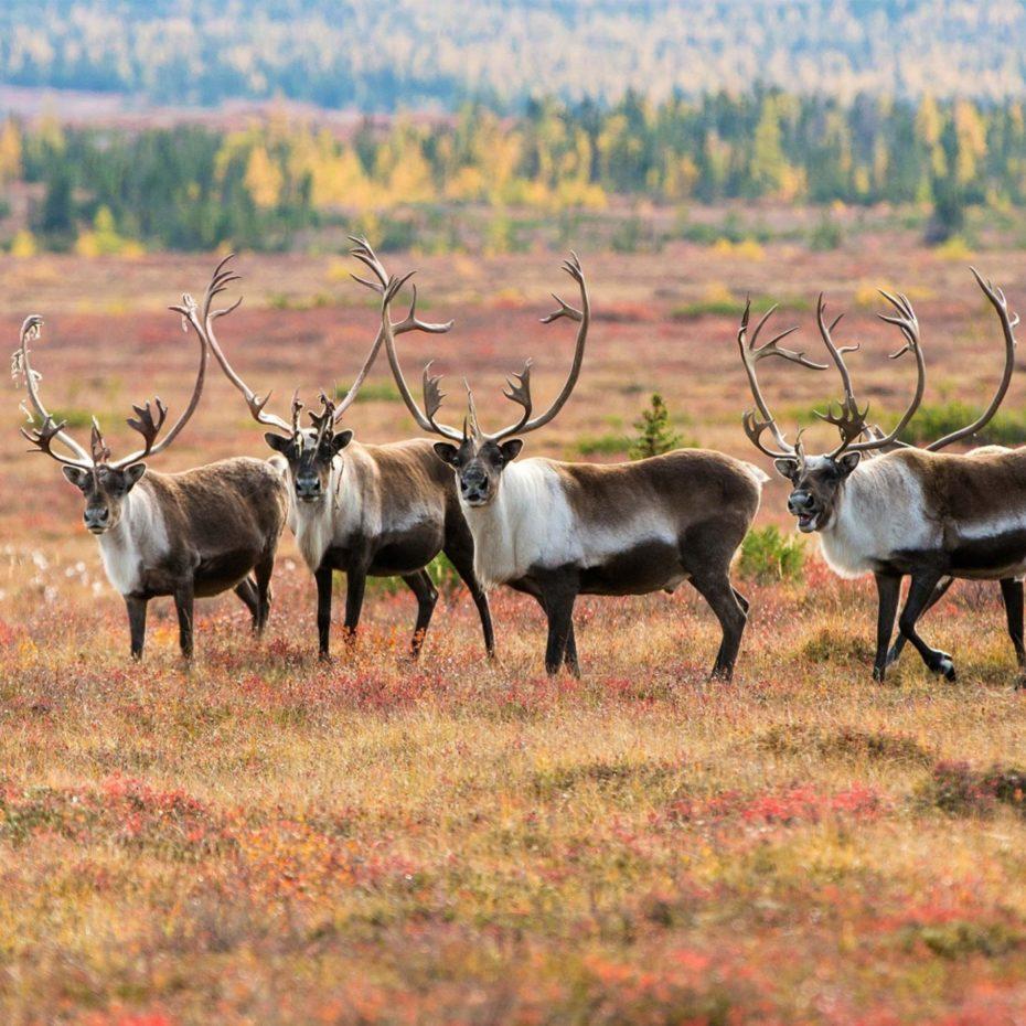 Weber Arctic Caribou Facts