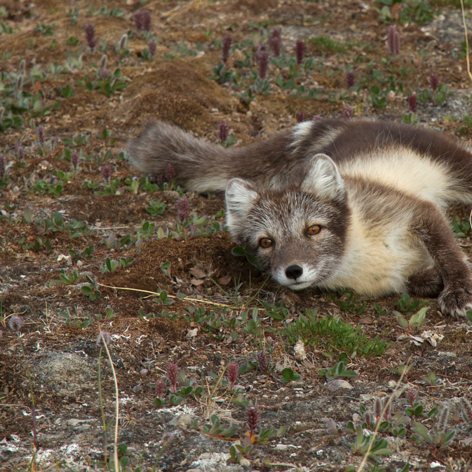 THE ARCTIC FOX THAT TRAVELLED MORE THAN 4400KM