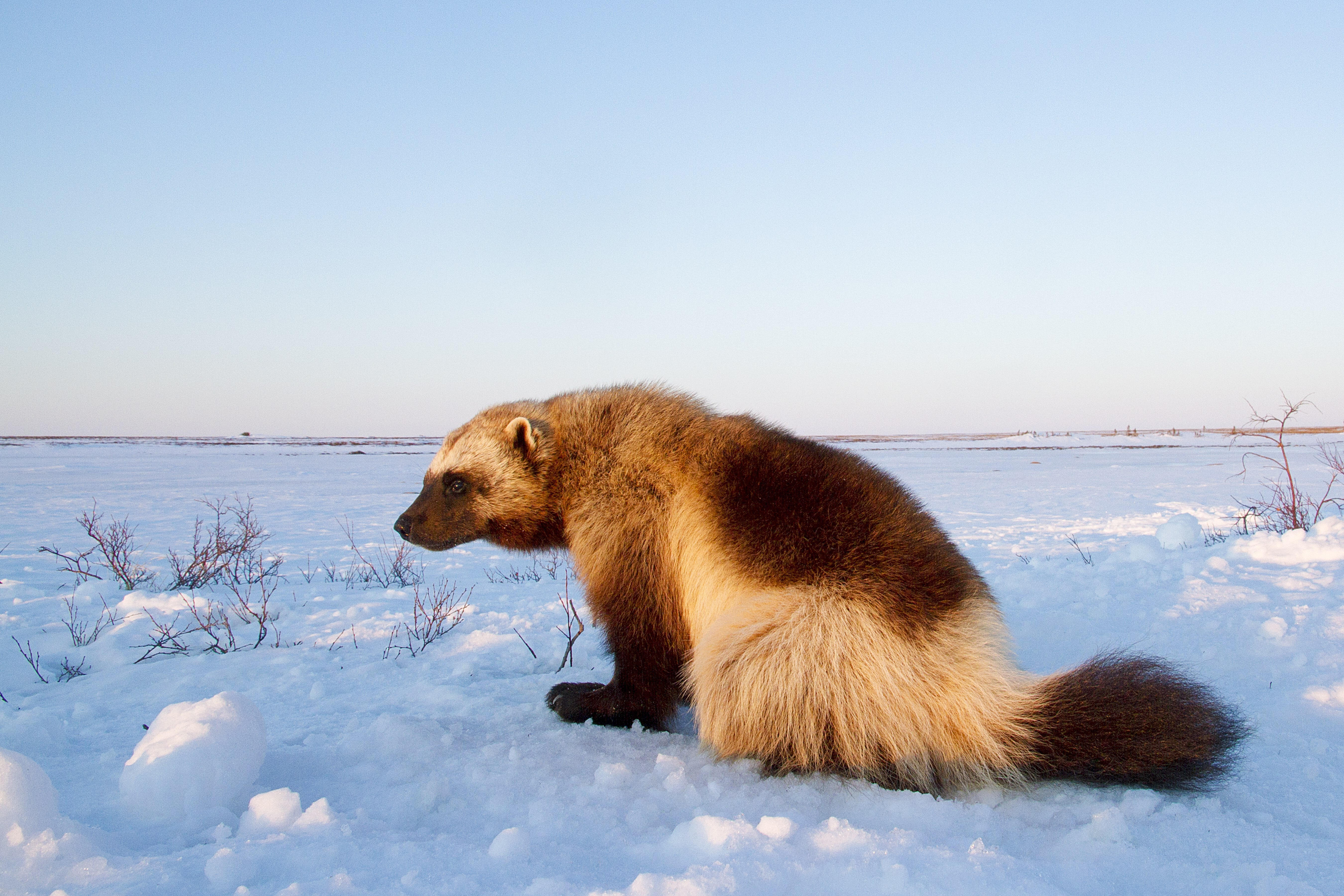 Wolverine on the tundra at Arctic Haven