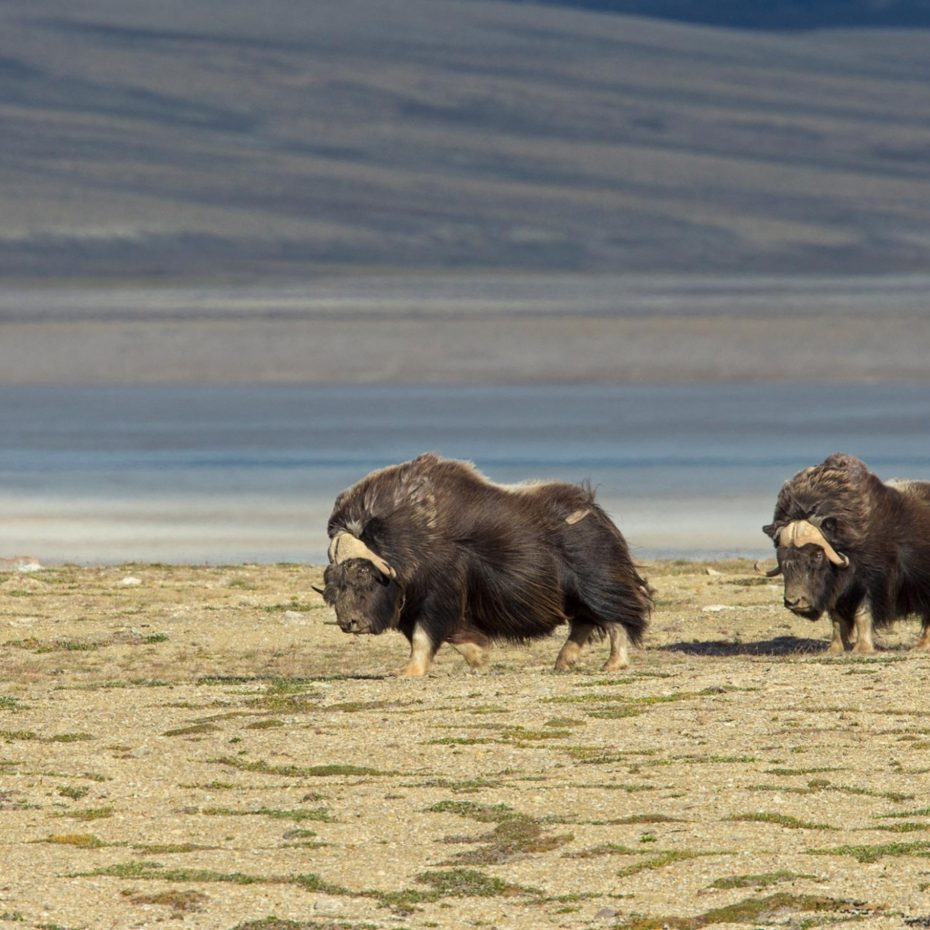 MUSKOXEN & CLIMATE CHANGE IN THE ARCTIC
