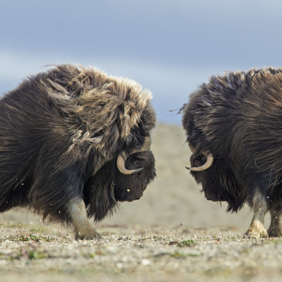 THE MUSKOX OF SOMERSET