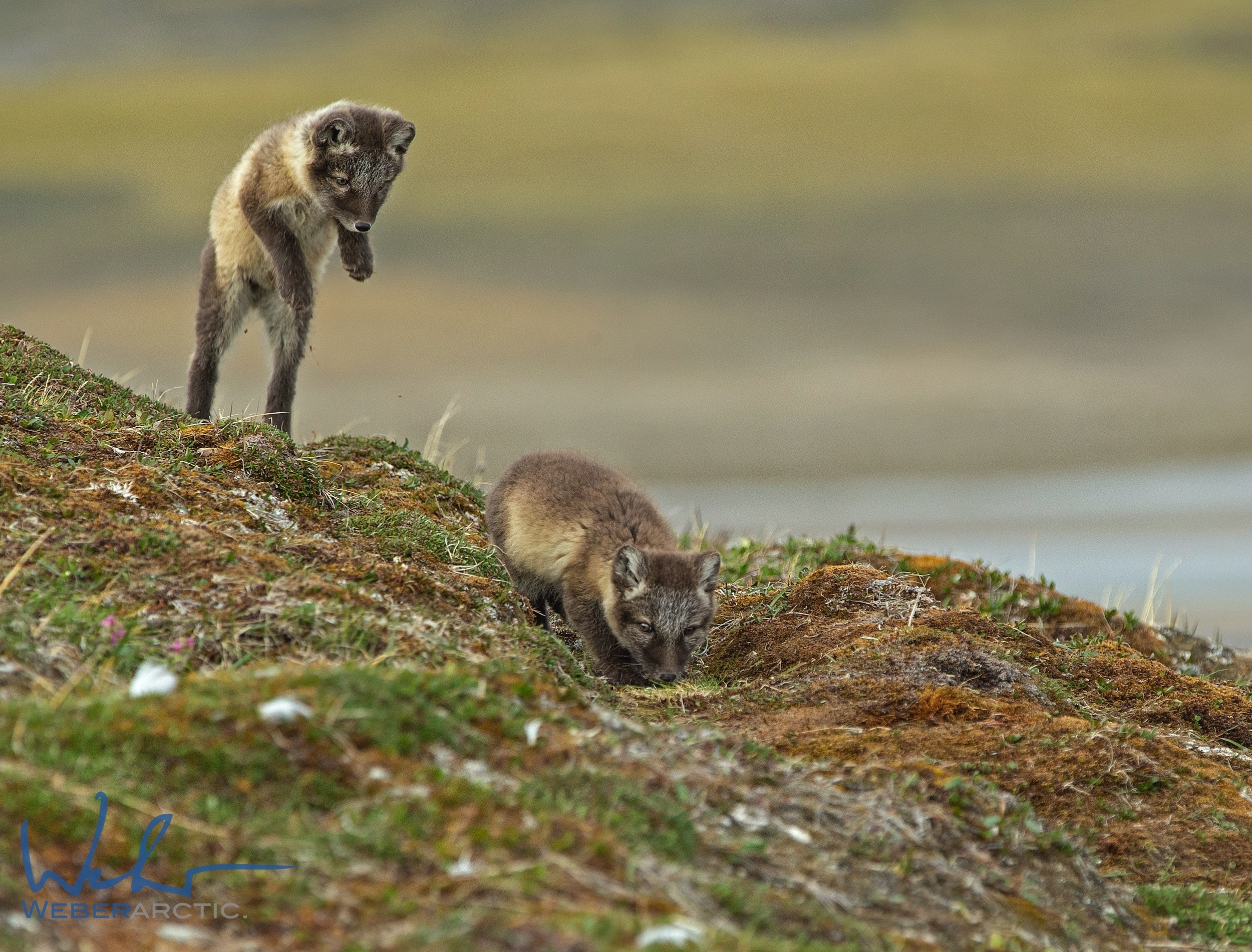 Two arctic fox kits playing on the tundra near Arctic Watch
